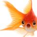 Goldfish - avatar